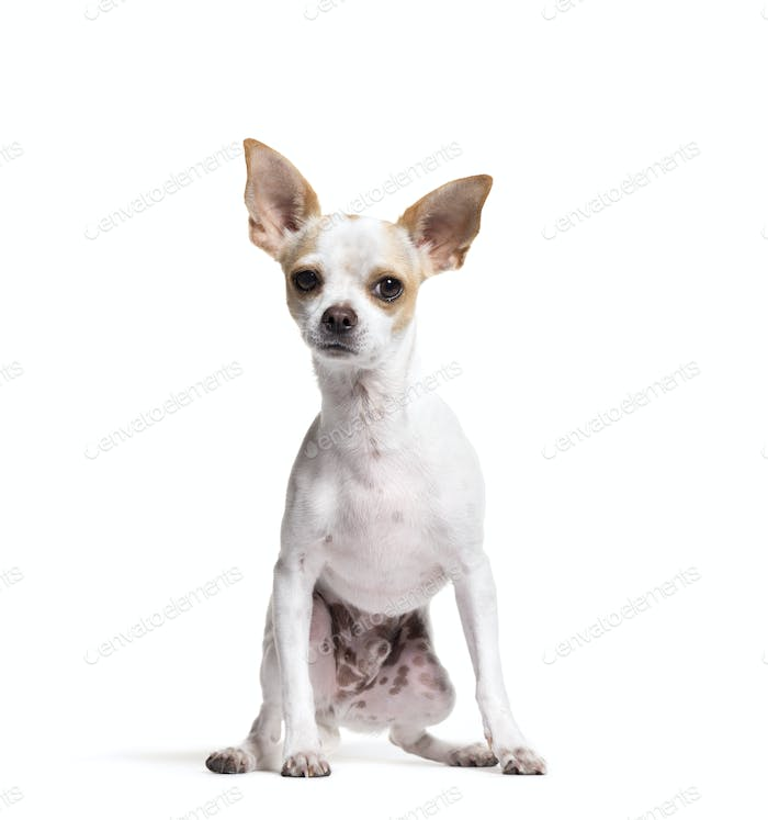Mixed-breed dog sitting in front of a white background