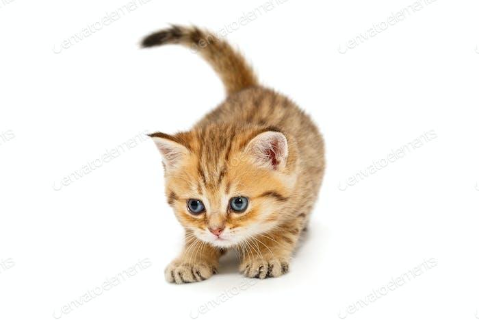 Small British kitten playing