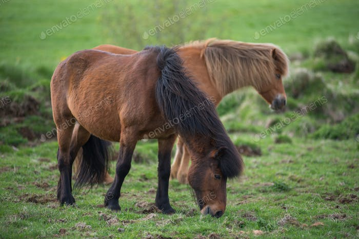 Icelandic horses grazing in the highlands, Iceland