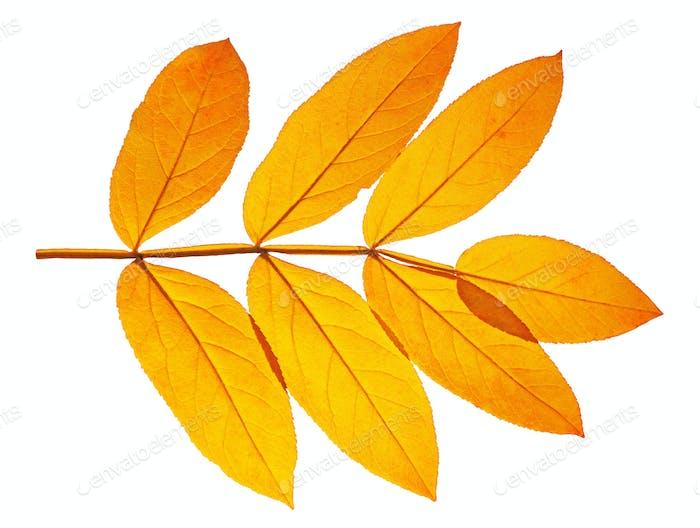 autumn  leaf ash on white background