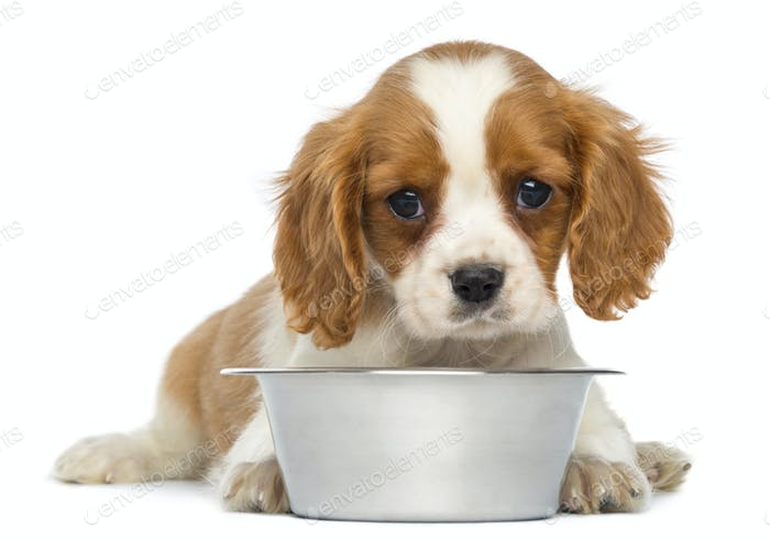 Cavalier King Charles Puppy lying in front of an empty metallic dog bowl, 2 months