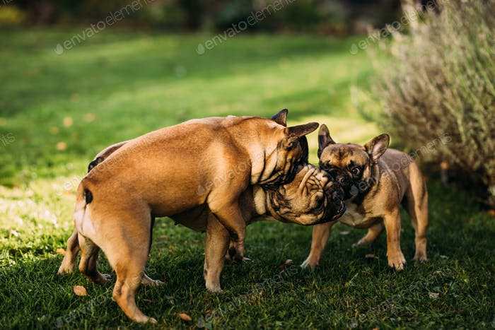 Three happy french bulldogs playing in the grass