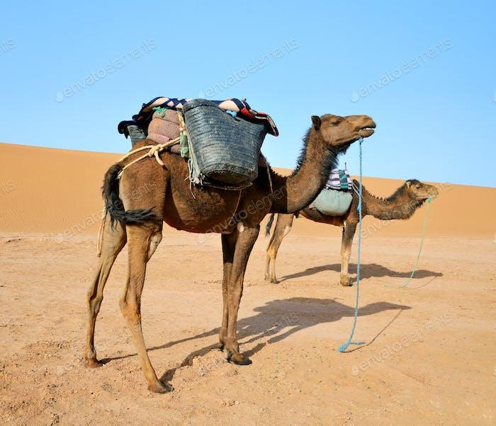 Zwei Kamele