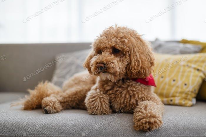 Perro pequeño, cachorro marrón caniche en casa