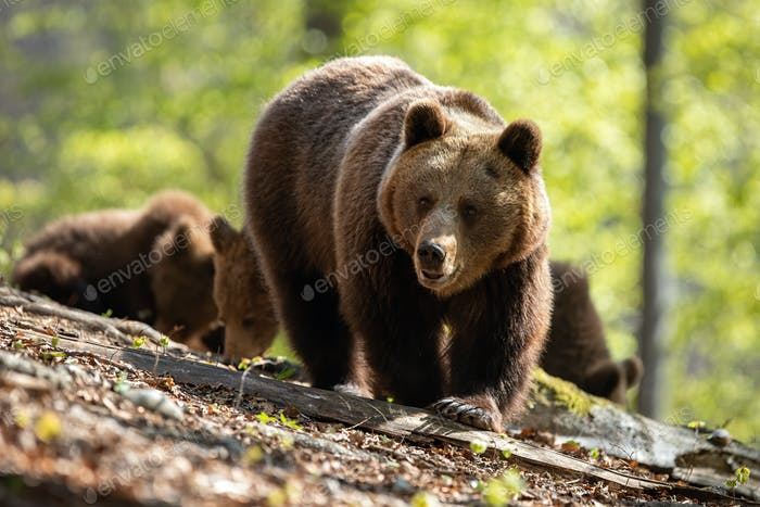 Mother brown bear leading her two cubs on the way through the forest