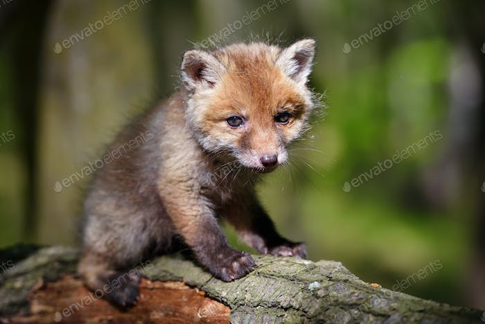 Red fox (Vulpes vulpes), small cute cub in the spring forest