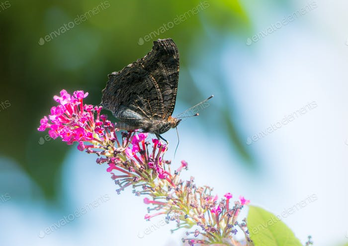 Peacock butterfly on a buddleia blossom