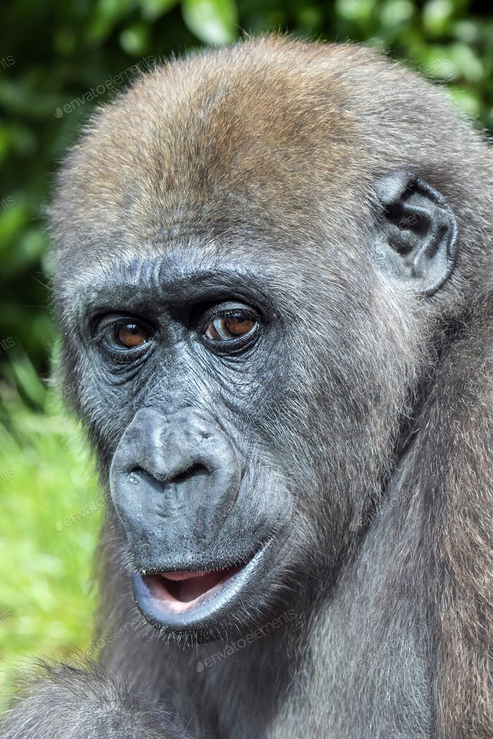 A young Western Lowland Gorilla