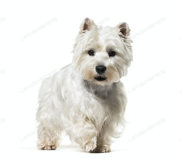 standing West Highland White Terrier dog, isolated on white