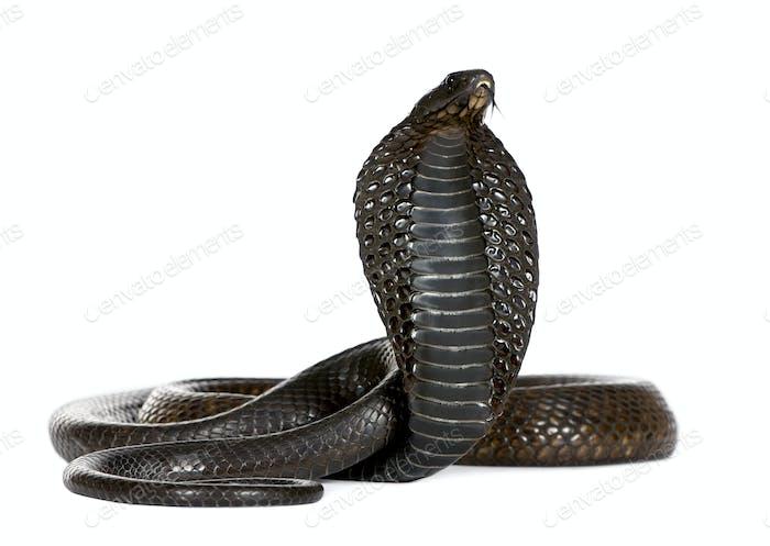 Egyptian Cobra, Naja Haje, studio shot