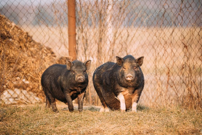 Two Pigs Posing In Farm Yard. Pig Farming Is Raising And Breedin