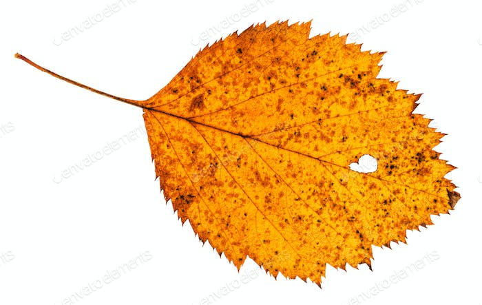 holey dried leaf of hawthorn tree isolated