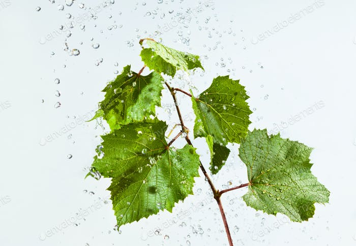 Drops of water fall on branch with leaves