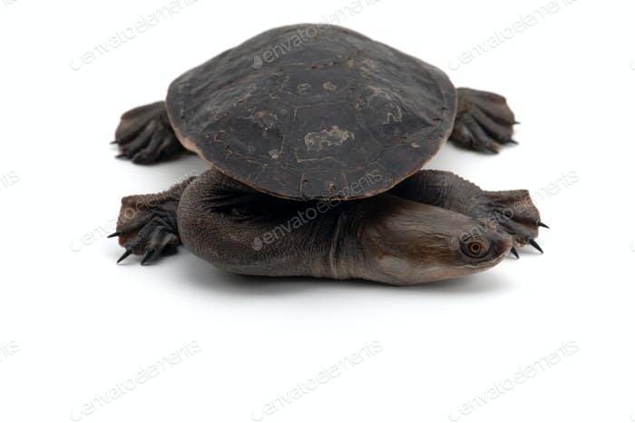 Eastern long-necked turtle isolated on white bacground