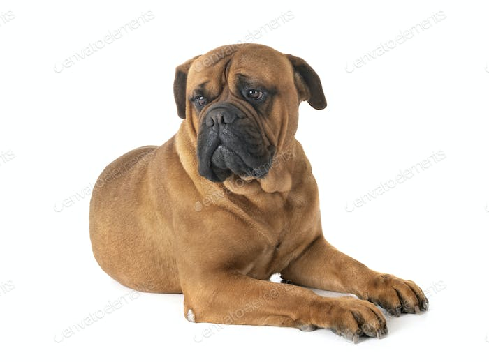 bullmastiff in studio