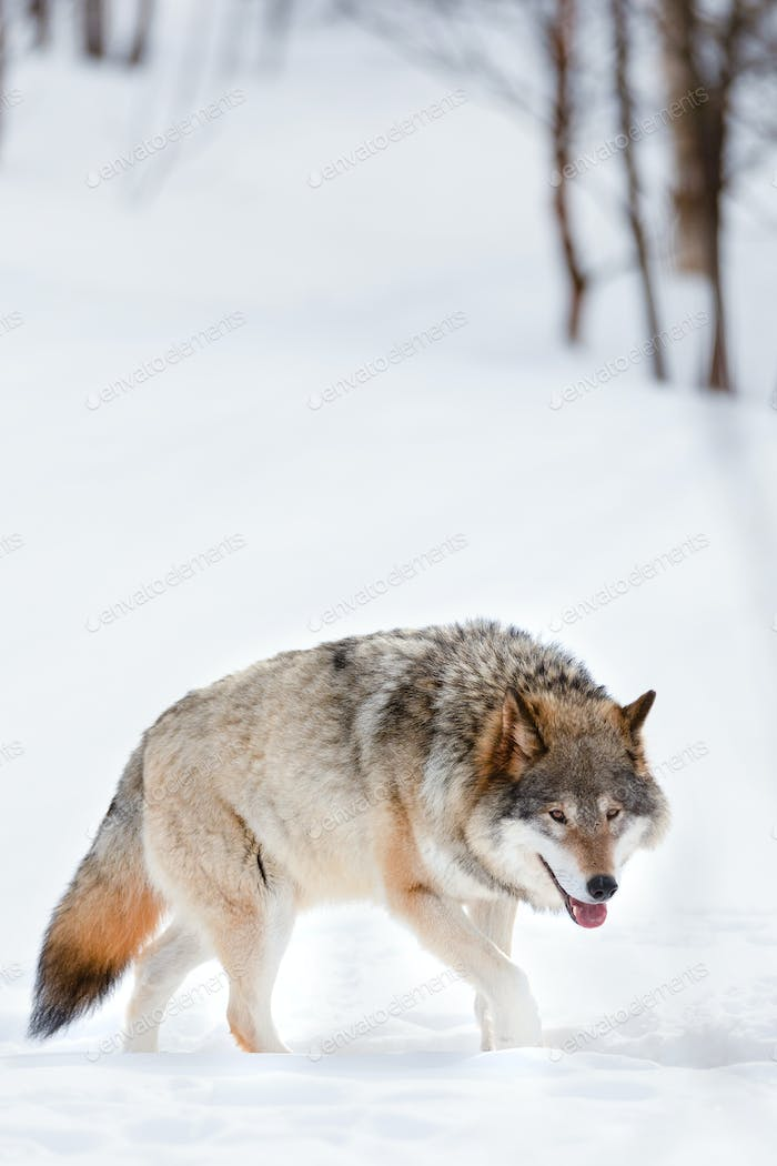 Canis Lupus strolling on snow at nature park