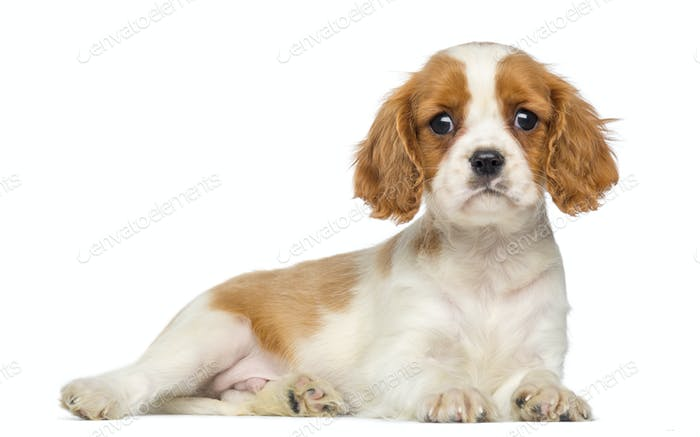 Cavalier King Charles Puppy lying and staring, 2 months old, isolated on white