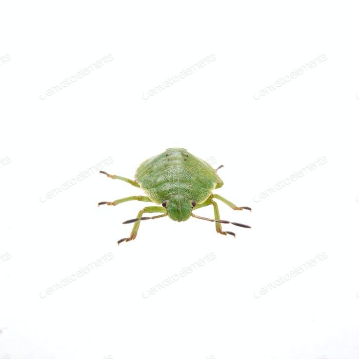 Grüner Schildkäfer auf weißem Hintergrund