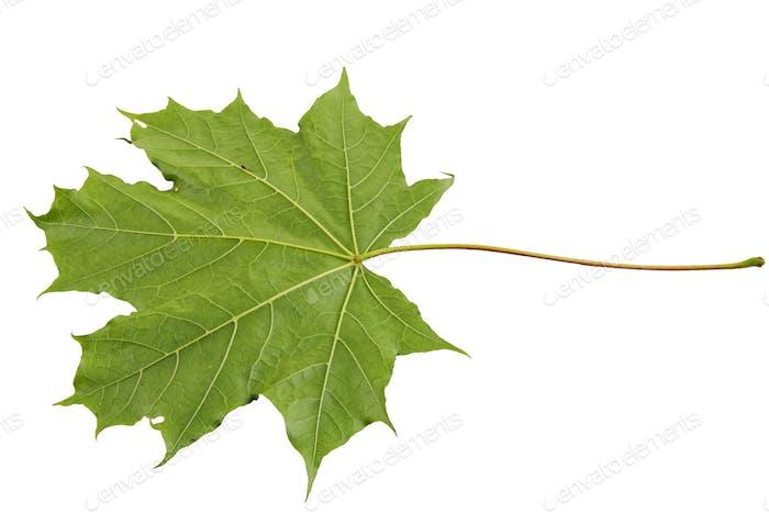 Underside maple leaf on a white background