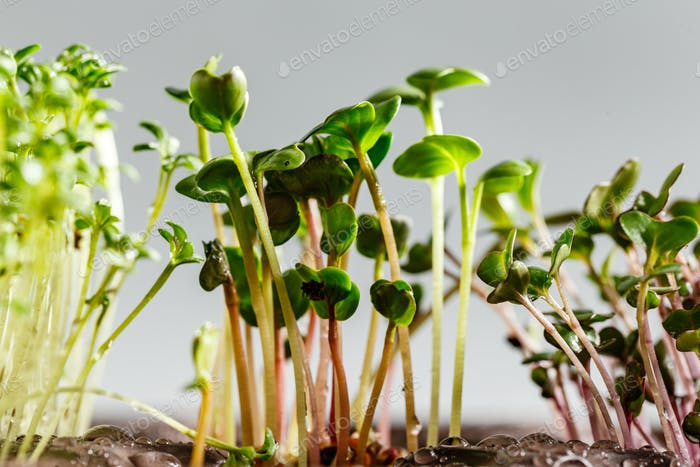 Differend types of Microgreens