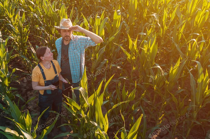Female agronomist advising corn farmer in crop field