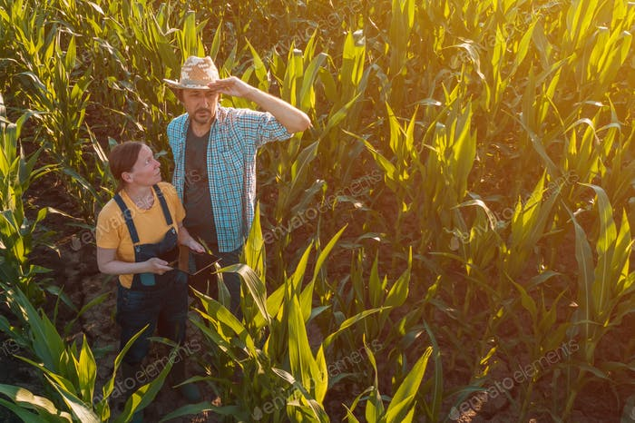 Weibliche Agronomin berät Maisbauern im Erntefeld