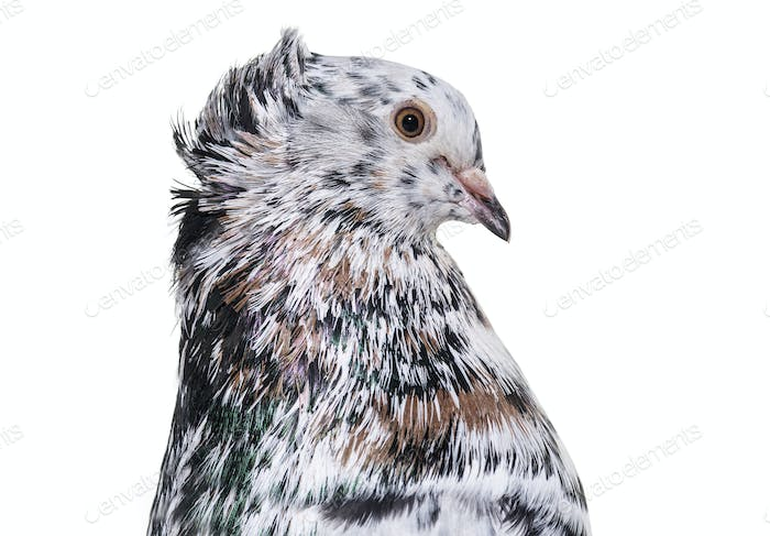 English Fantail pigeon in profile against white background