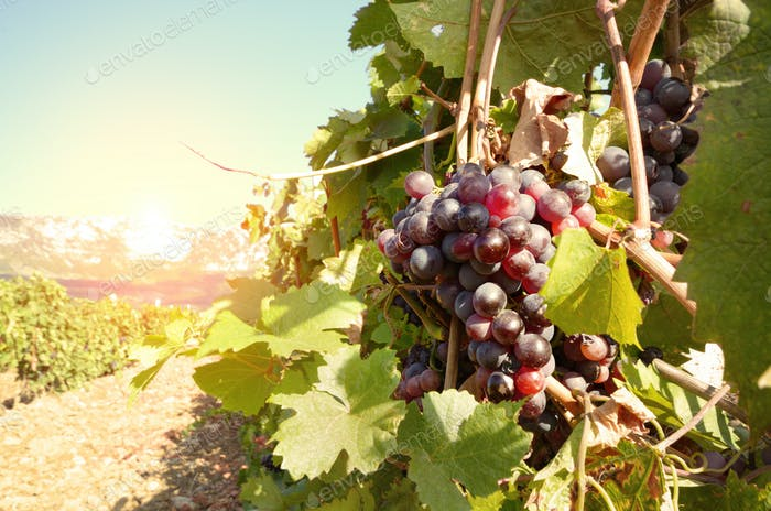 Ripe grapes on vine in Crimea Ukraine vineyards