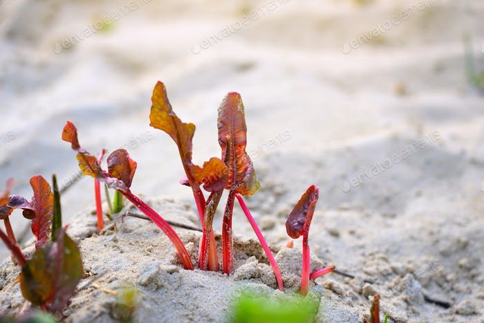 Young leaves of sorrel (in Latin: Rumex crispus)