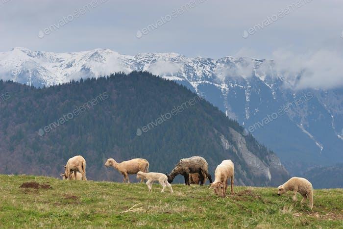 Schafe zur Weide