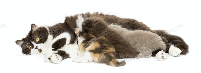 Front view of British Longhair lying, breastfeeding kittens, isolated on white