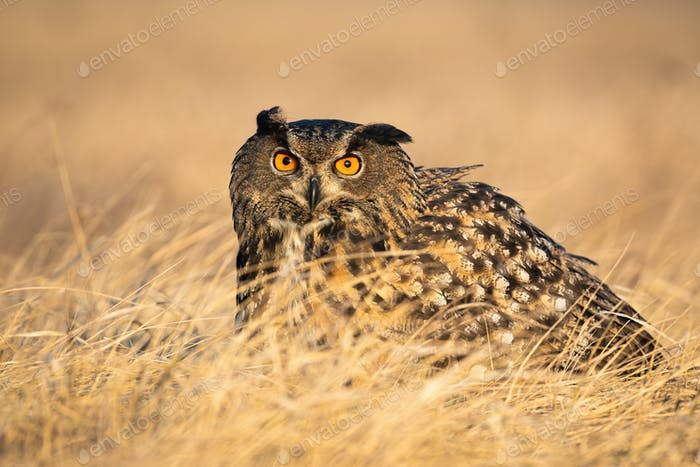 Scared eurasian eagle-owl hiding in grass in autumn