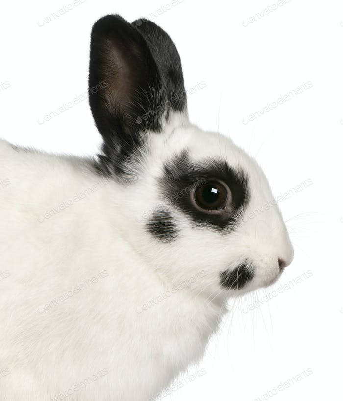 Close-up of Dalmatian rabbit, 2 months old, Oryctolagus cuniculus, in front of white background