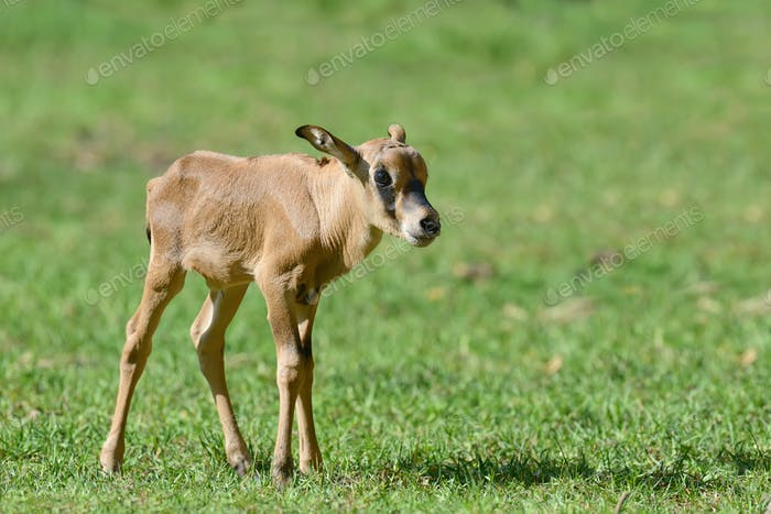 Baby gemsbok on grass