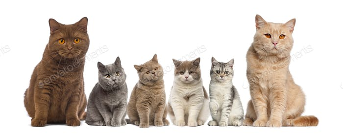 Group of British Shorthairs sitting in front of a white background