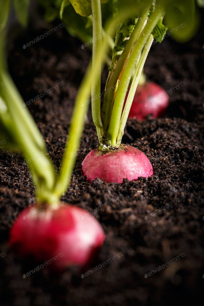 Fresh radishes on the ground