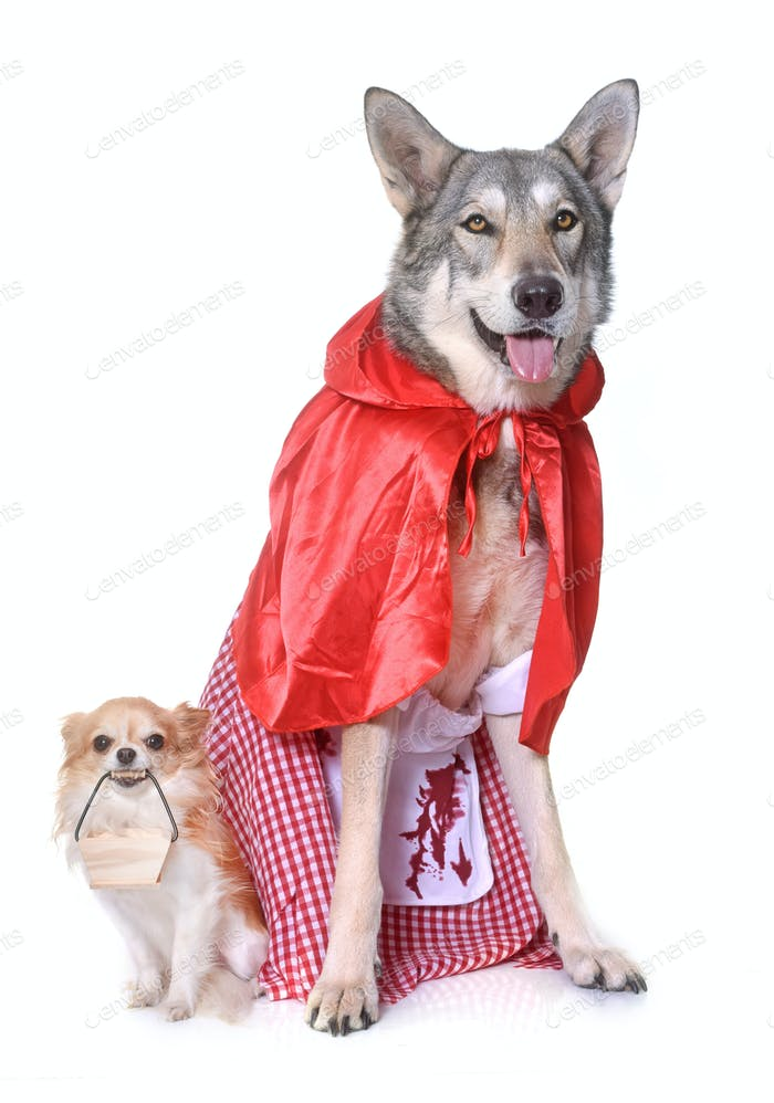 dressed Saarloos wolfdog and chihuahua