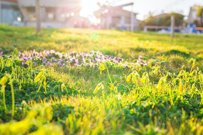 lawn of spring flowers and sunlight. Green floral background with bunch of grass