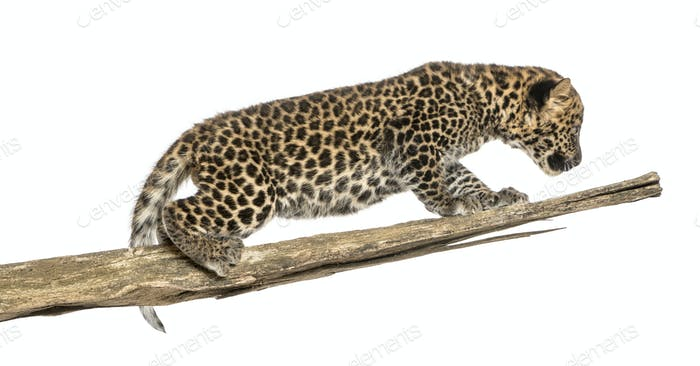 Spotted Leopard cub prowling on a branch, 7 weeks old, isolated on white