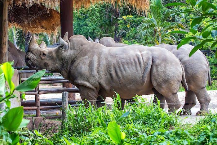 Pack of white rhino in captivity