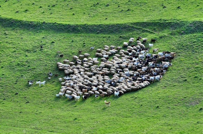 Herd of sheep gathering in the mountains