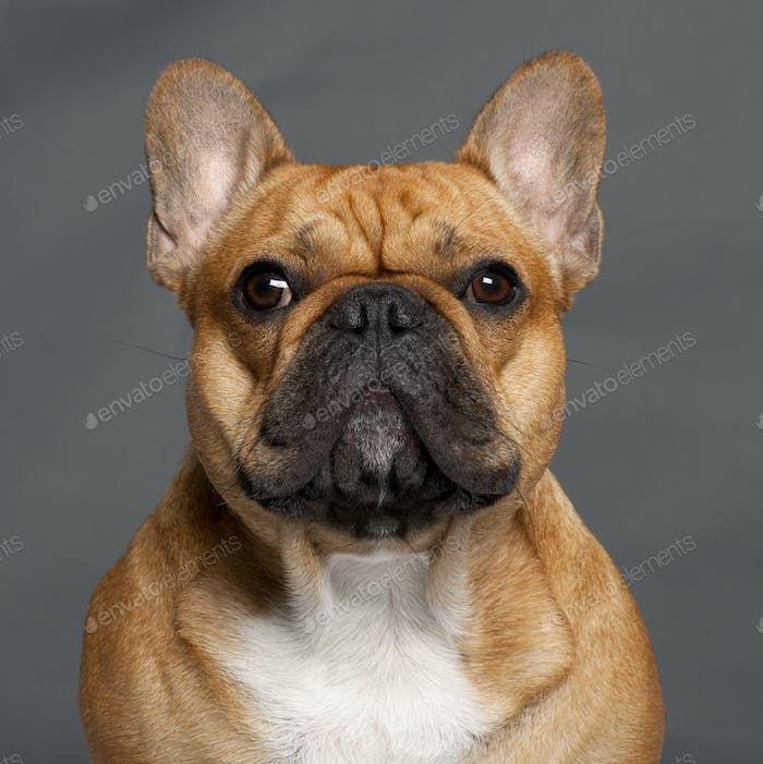 Close-up of French Bulldog, 1 year old, in front of grey background