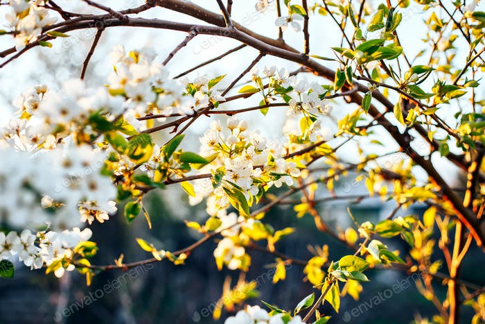 apple blossom branches against sunset