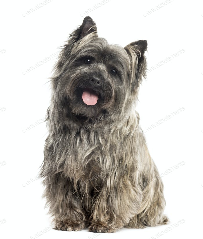 Front view of a Cairn Terrier sitting, panting, isolated on white