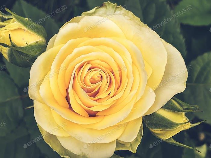 Growing rose close-up
