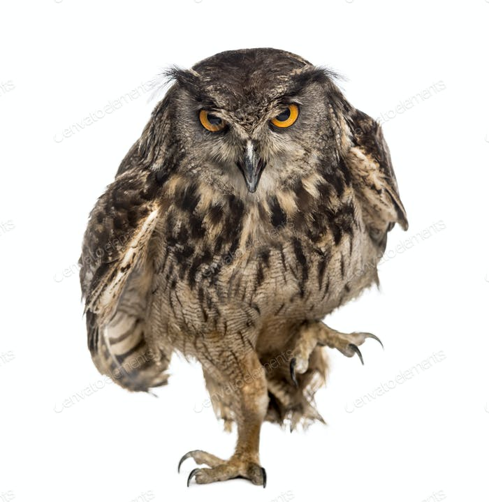Eurasian eagle-owl (Bubo bubo) walking in front of a white background