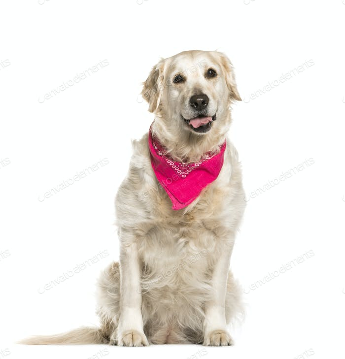 Golden retriever dog sitting, cut out