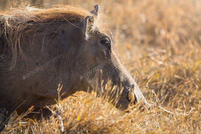 Verruga cerdo paseo en la puesta de sol