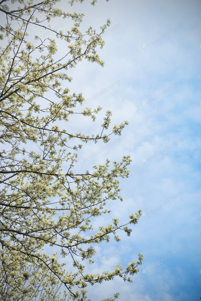 Cherry Blossoms in the spring, and blue sky in the background
