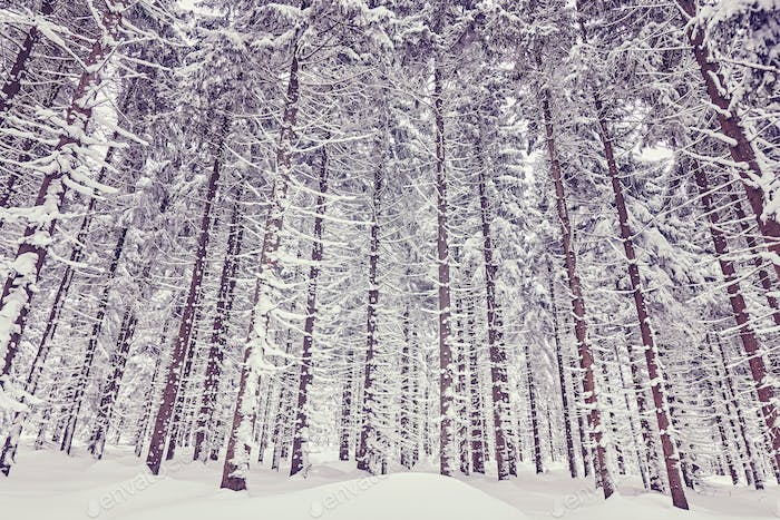 Purple toned winter forest with snow covered trees